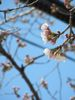 closeup of Sakura blossoms