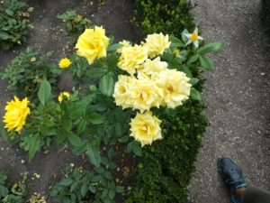 Yellow roses in the rose garden